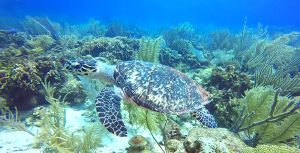 Hawksbill Sea Turtle diving Roatan, Honduras